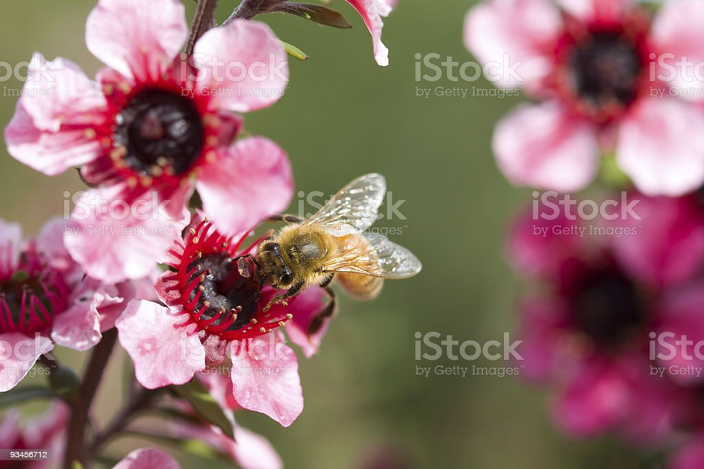 Bumble bee with red flower royalty-free stock photo