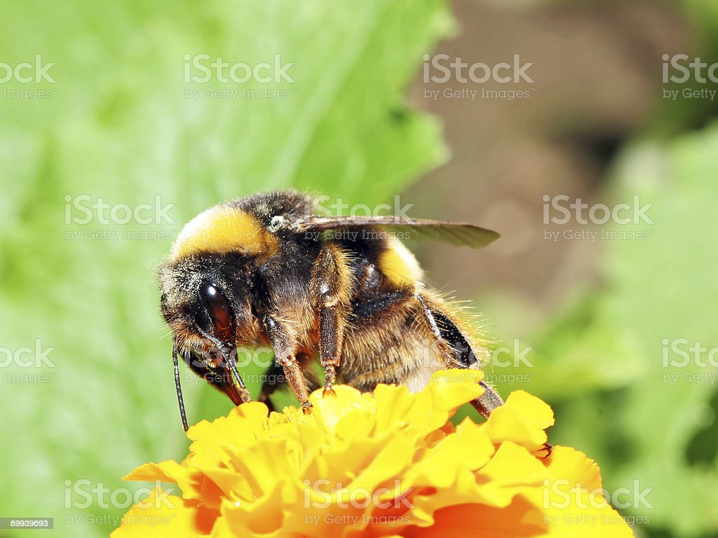 Bumblebee 1 stock photo