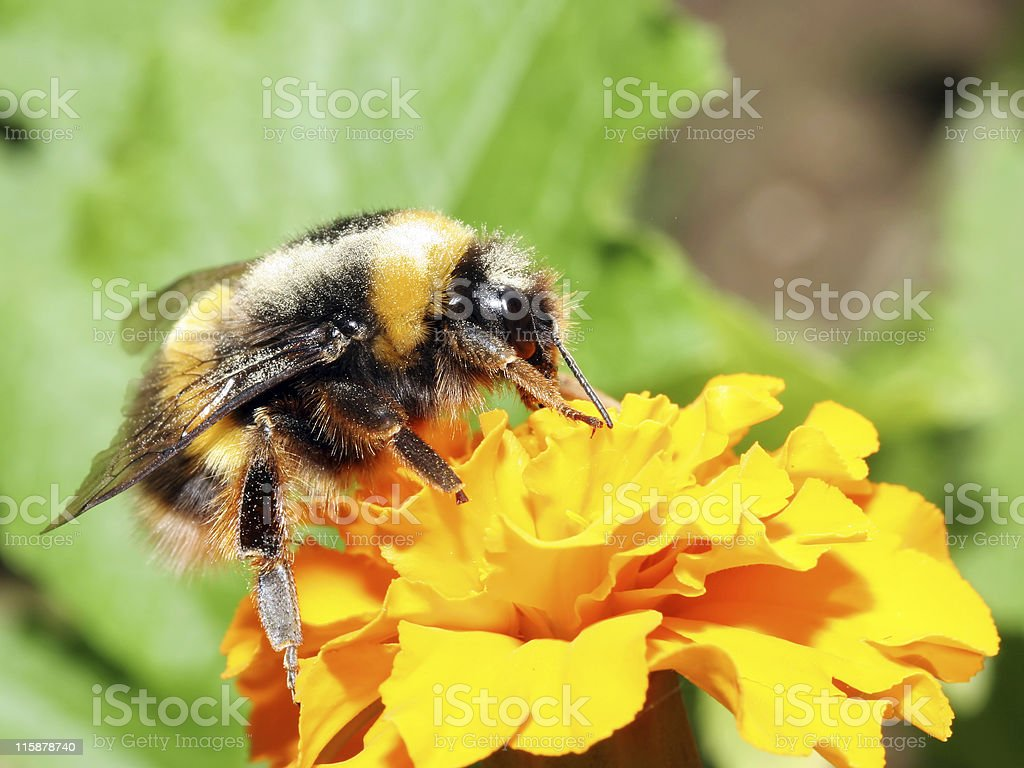 Bumblebee 2 stock photo