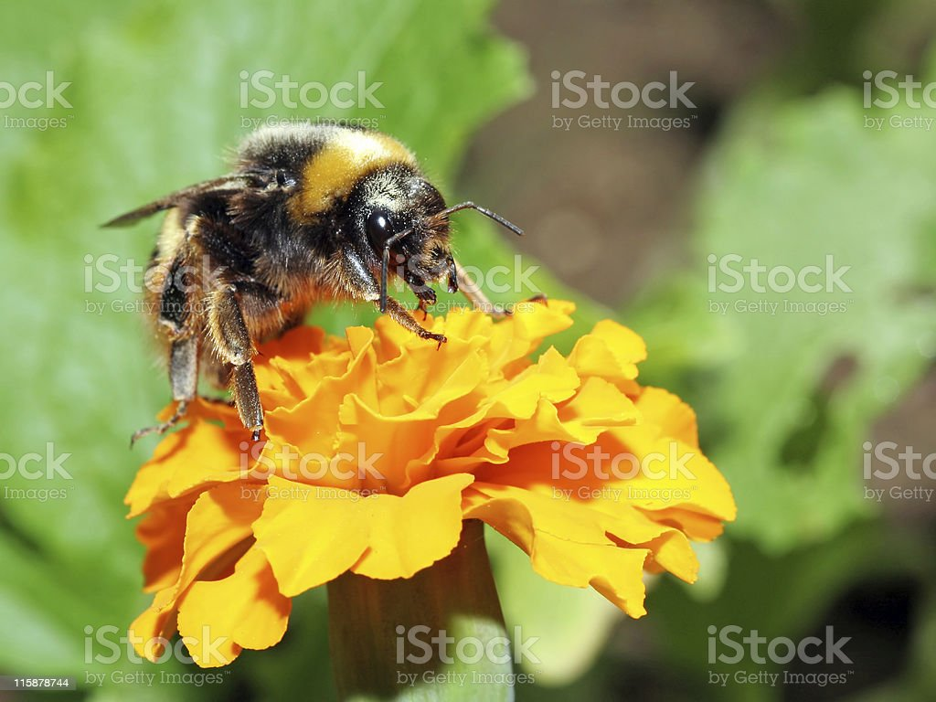 Bumblebee 3 stock photo