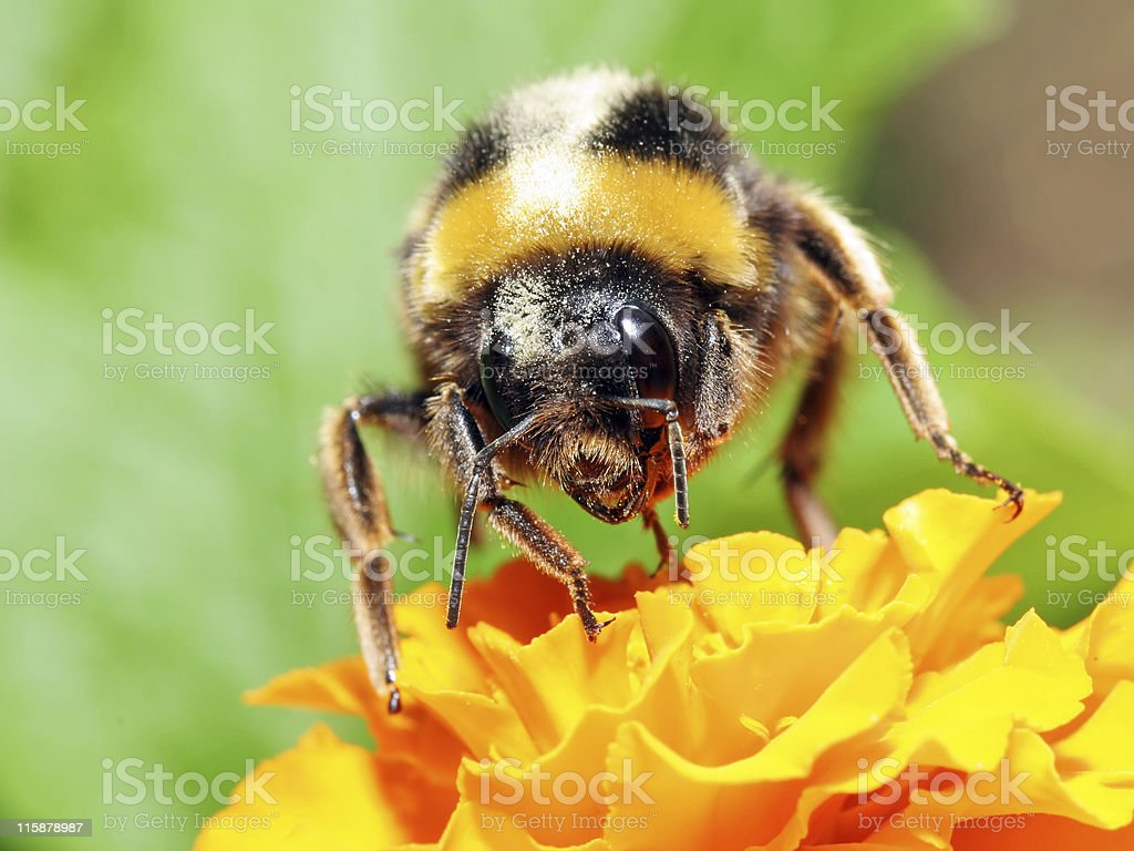 Bumblebee 5 stock photo