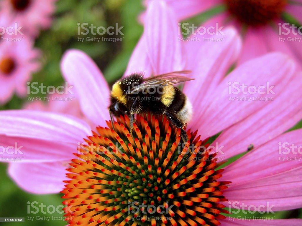 bumblebee and echinacea royalty-free stock photo