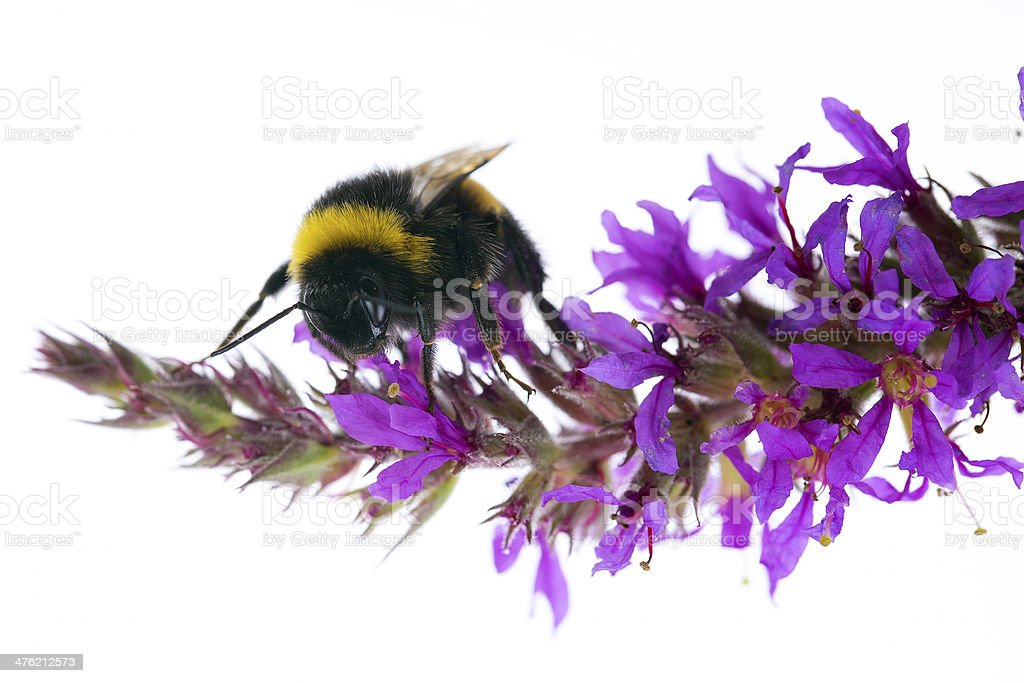 Bumblebee and flower stock photo