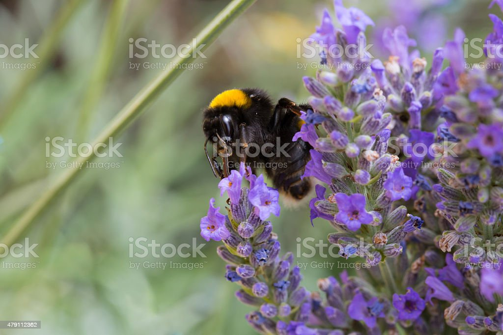 Bumblebee and lavender stock photo