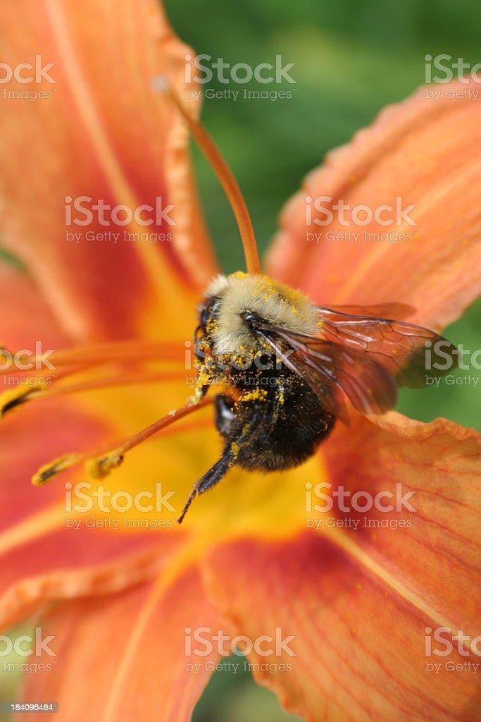 Bumblebee and orange flower stock photo