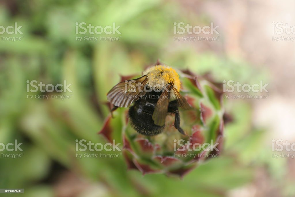Bumblebee and Sempervivum stock photo