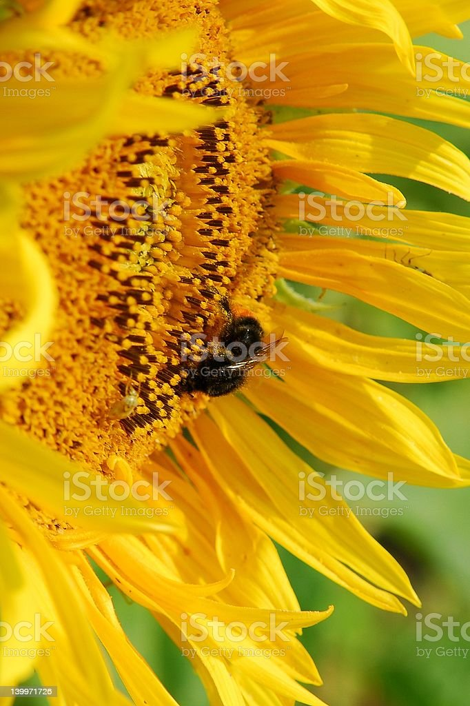bumblebee and sunflower royalty-free stock photo