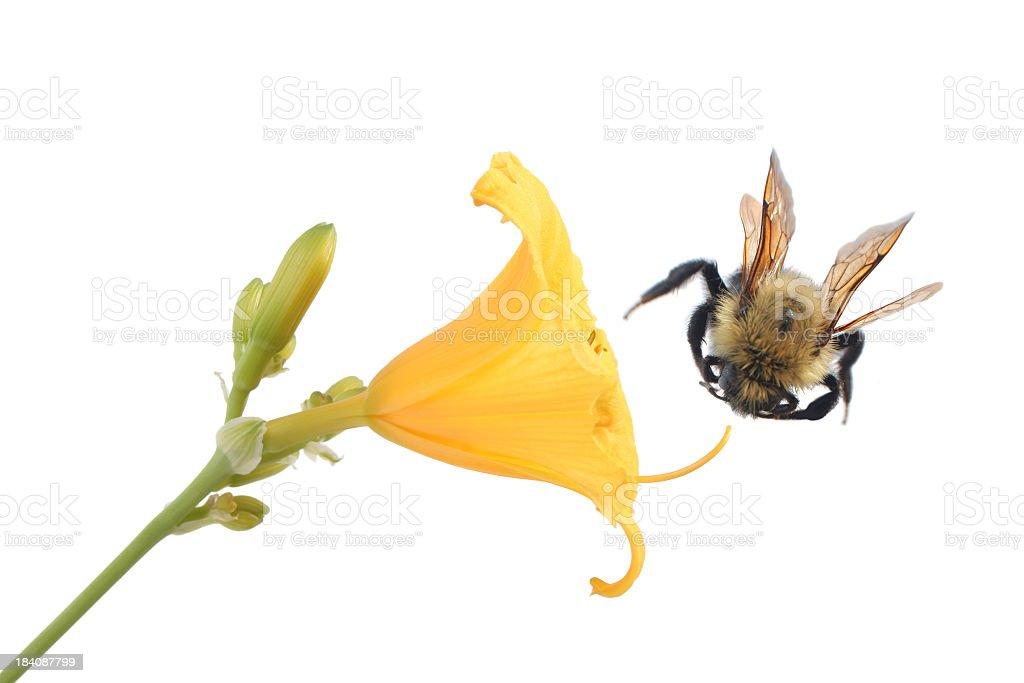 Bumblebee and yellow flower stock photo