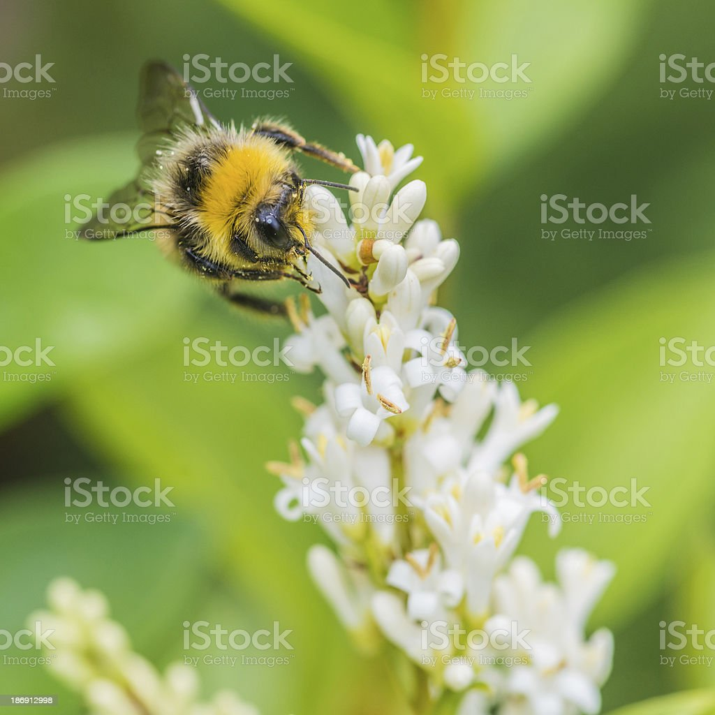 Bumblebee At Bay royalty-free stock photo