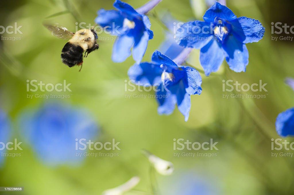 Bumblebee at Work royalty-free stock photo