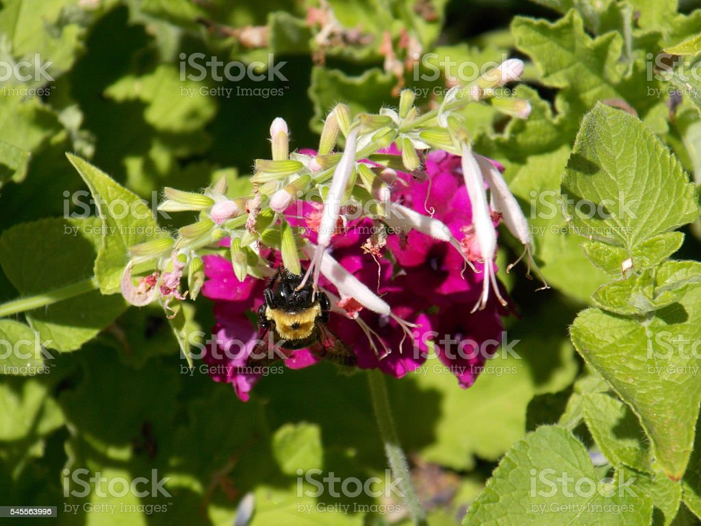 Bumblebee Climbs Up Hot Pink Flower stock photo