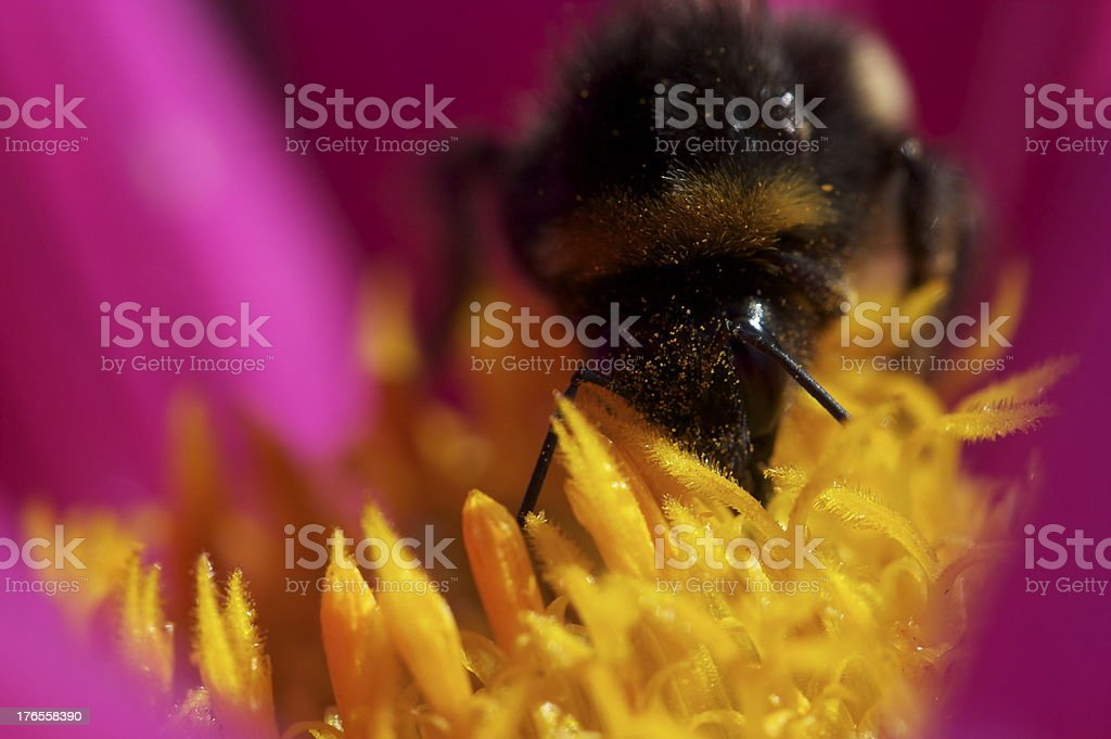 Moscardón recogida de polen foto de stock libre de derechos