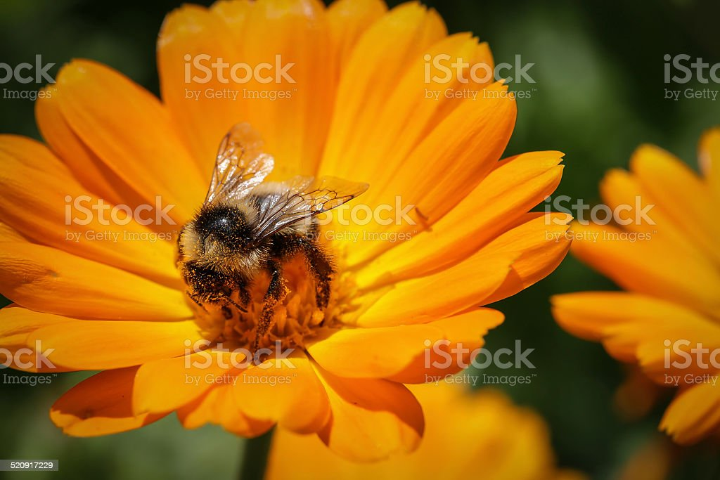 bumblebee collecting pollen stock photo