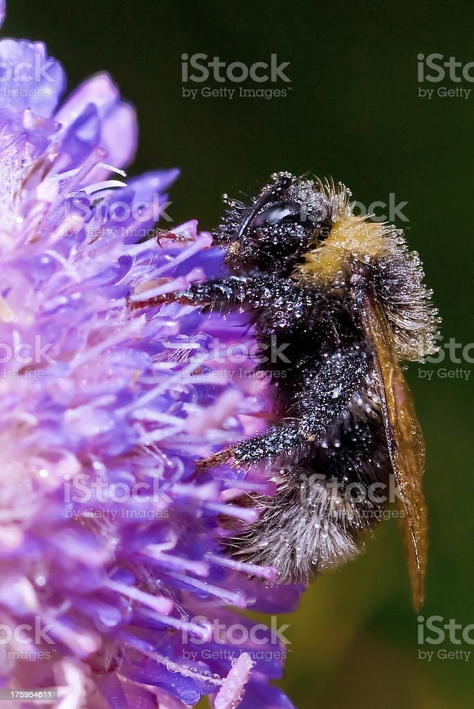 Bumblebee covered with dew, sleeps on the meadow clover. royalty-free stock photo