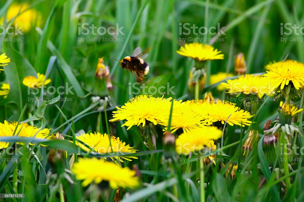 Bumblebee flying from flower stock photo