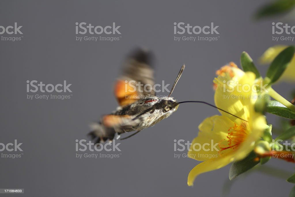 Bumble-bee flying stock photo