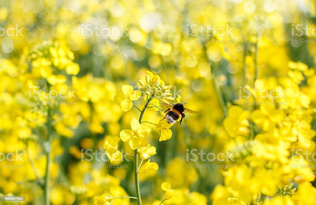 Bumblebee foraging flying stock photo