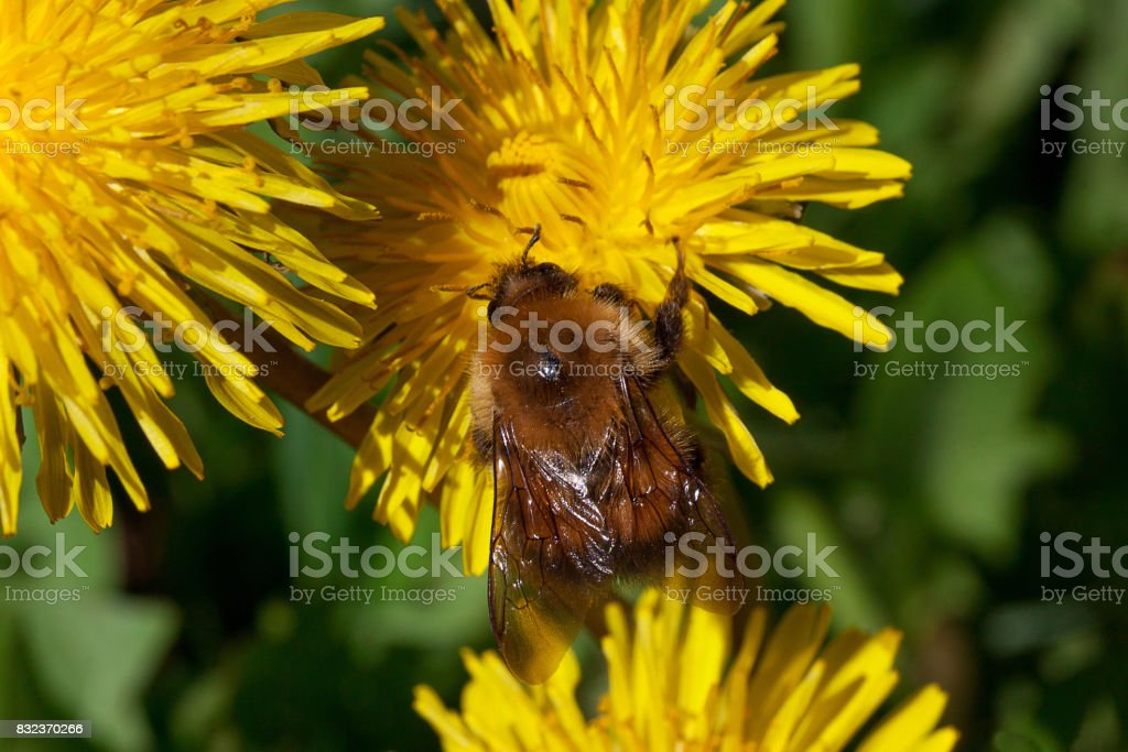 Bumblebee gathers pollen from a dandelion flower. stock photo