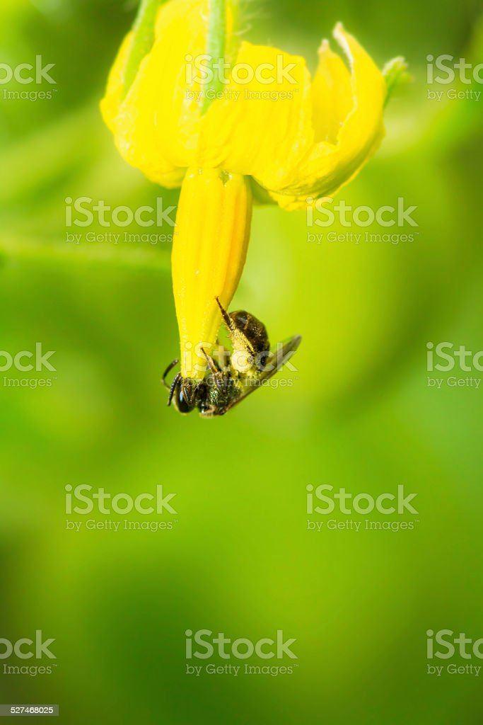 Bumblebee Hanging Upside Down From A Squash Blossom stock photo