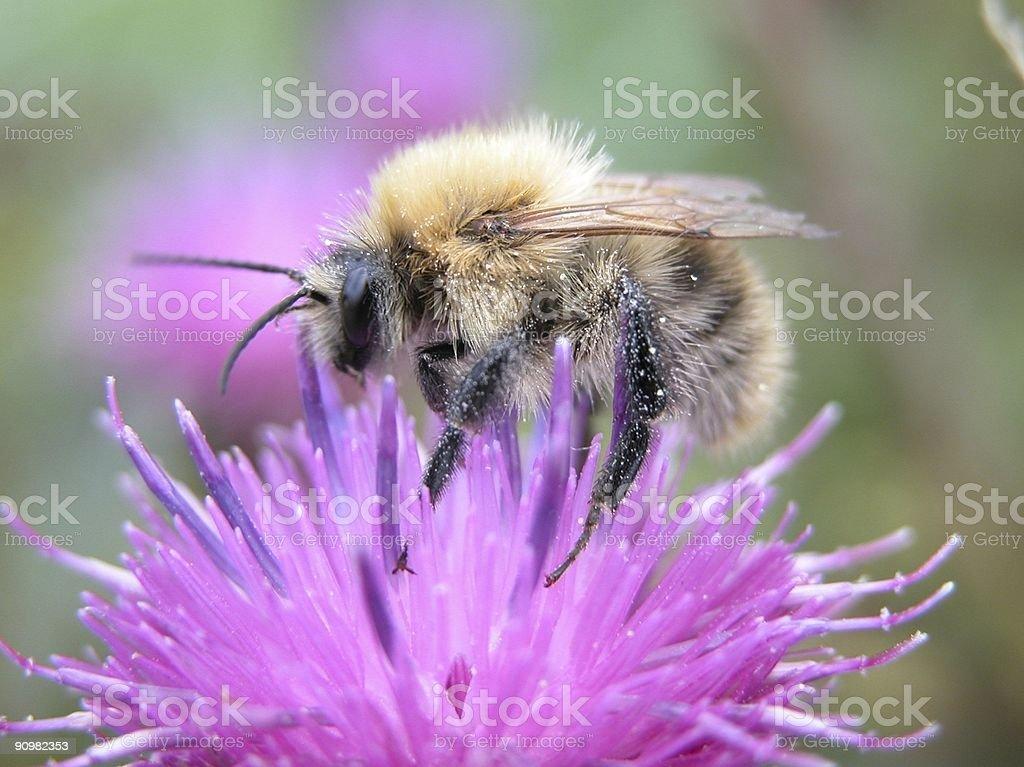Bumblebee in an English garden royalty-free stock photo