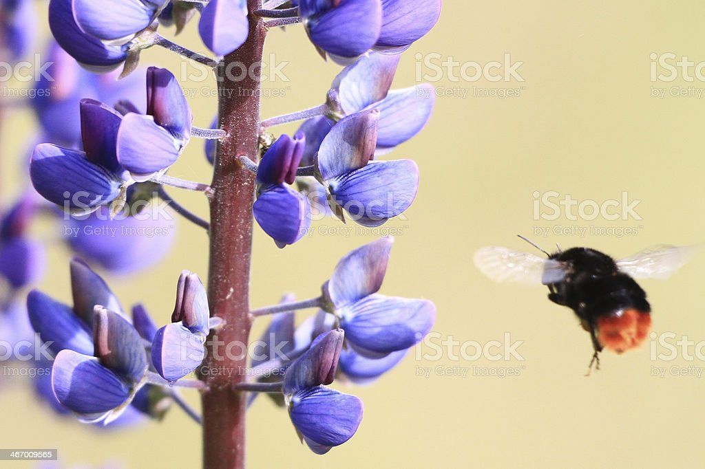Bumblebee in flight towards flower royalty-free stock photo
