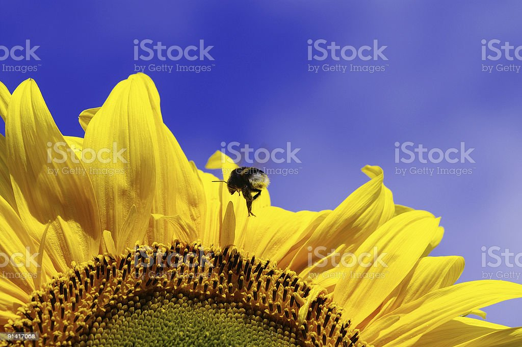 Bumble-bee in the approach to a sunflower royalty-free stock photo