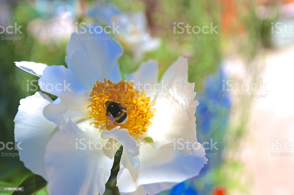 bumblebee in the flower close-up stock photo