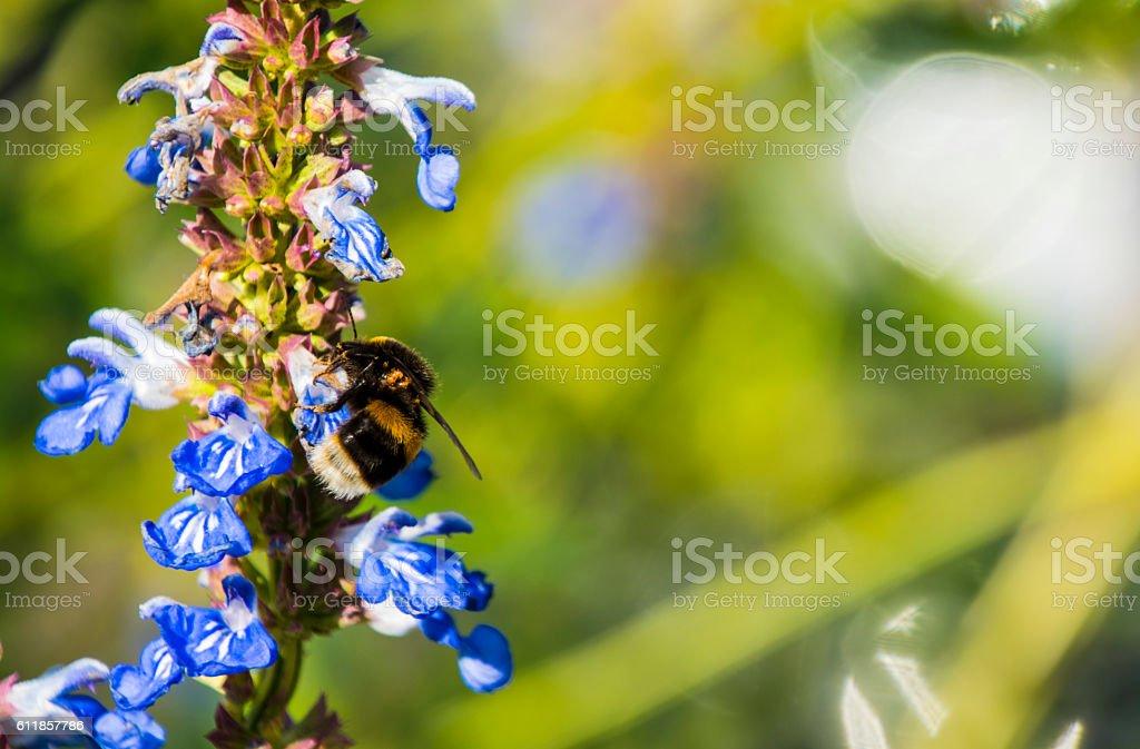 Bumblebee Mites Infestation stock photo