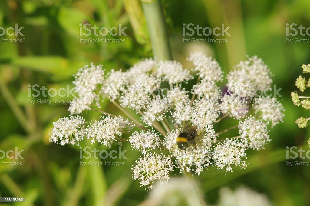 Bumblebee on a blooming Hogweed (Heracleum) closeup stock photo