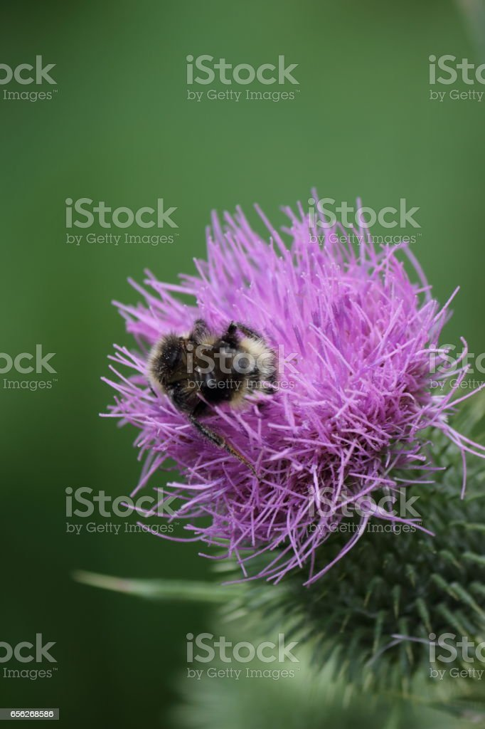 Bumblebee on a burdock. stock photo