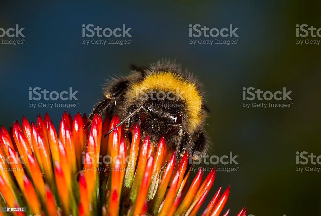 Bumblebee on a Coneflower stock photo