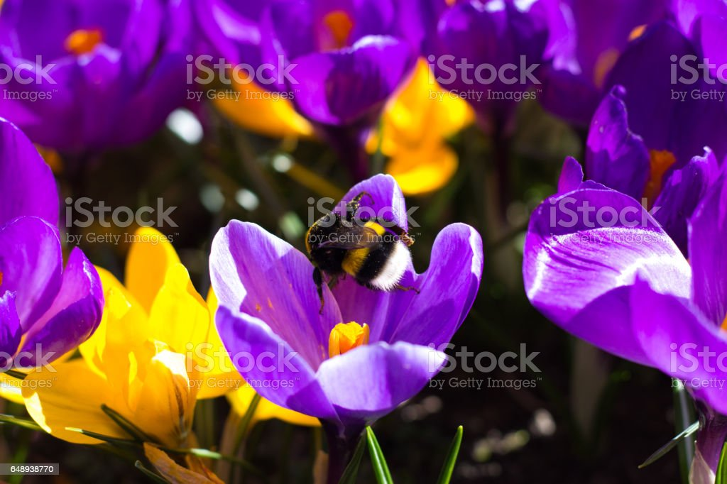 Bumblebee on a Crocus stock photo