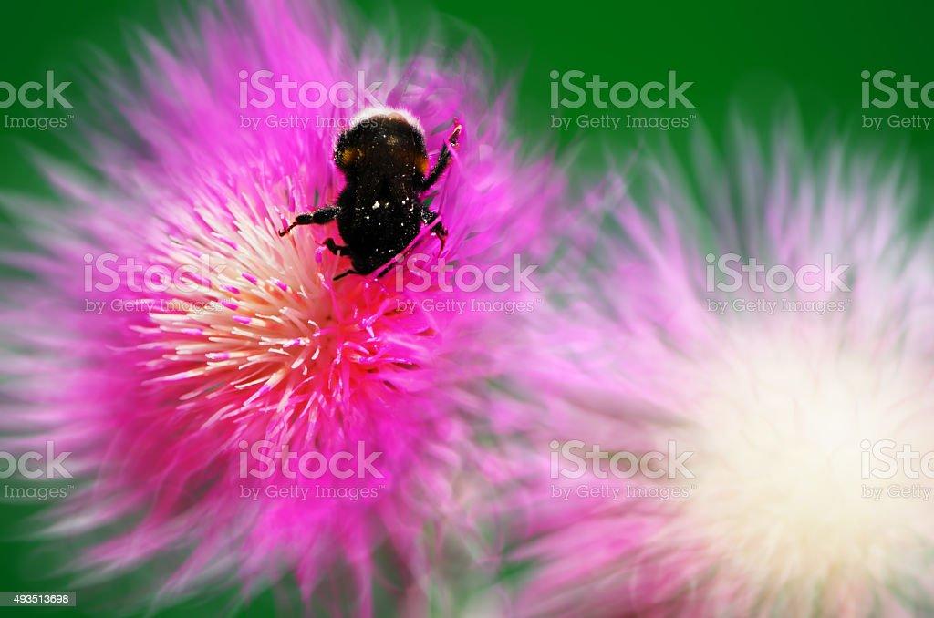 Bumblebee on a flower cornflower stock photo