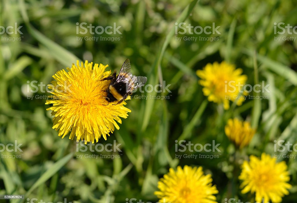 Bumblebee on a flower dandelion. stock photo