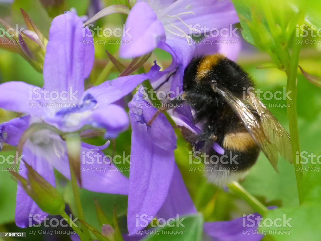 bumblebee on a flower royalty-free stock photo