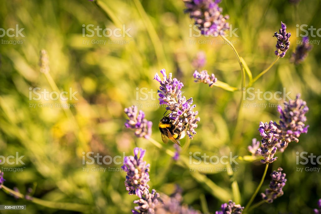 Bumblebee on a fragrant bed of lavender stock photo