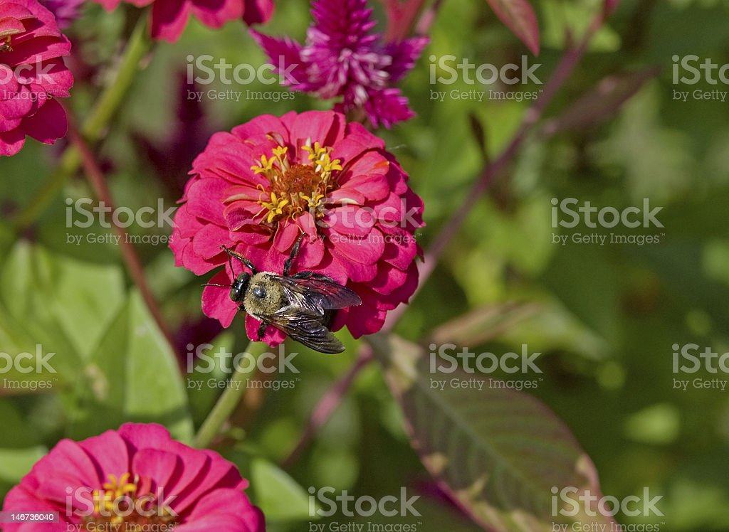 Bumblebee on a Pink Fall Flower royalty-free stock photo