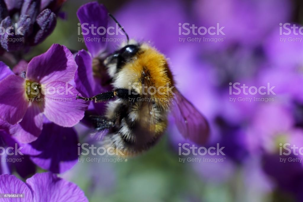 Bumblebee on a Purple Flower. stock photo