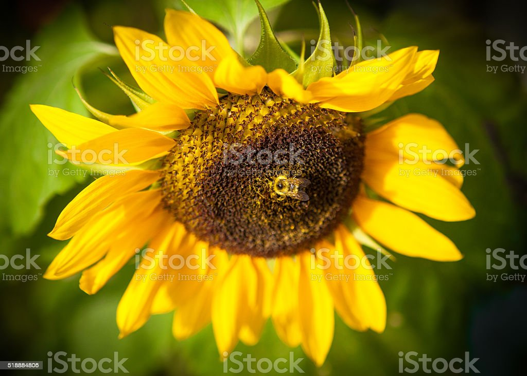 Bumblebee On A Sunflower royalty-free stock photo