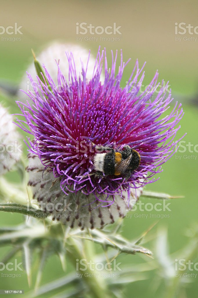 Bumblebee on a thistle flower. royalty-free stock photo