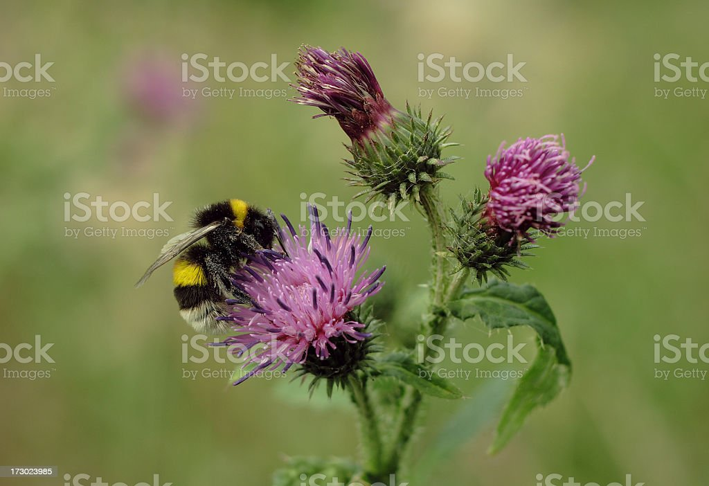 Bumblebee on a thistle royalty-free stock photo