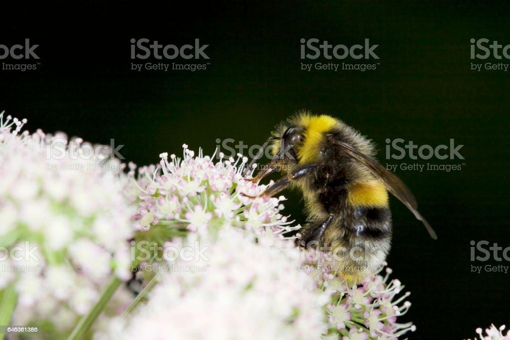 Bumblebee on a white flower stock photo