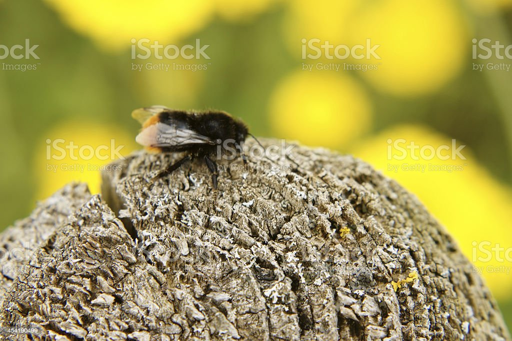 Bumblebee on a wooden pole royalty-free stock photo