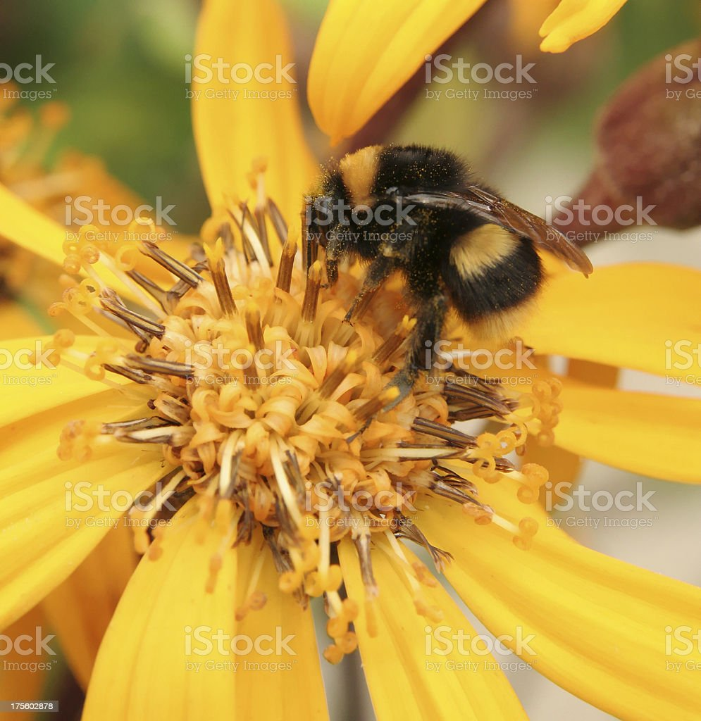 Bumblebee on a yellow flower royalty-free stock photo
