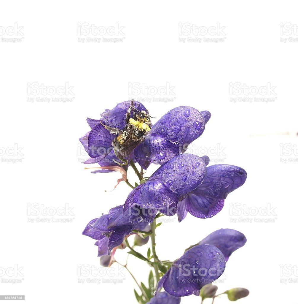 Bumblebee on Akane. white background royalty-free stock photo