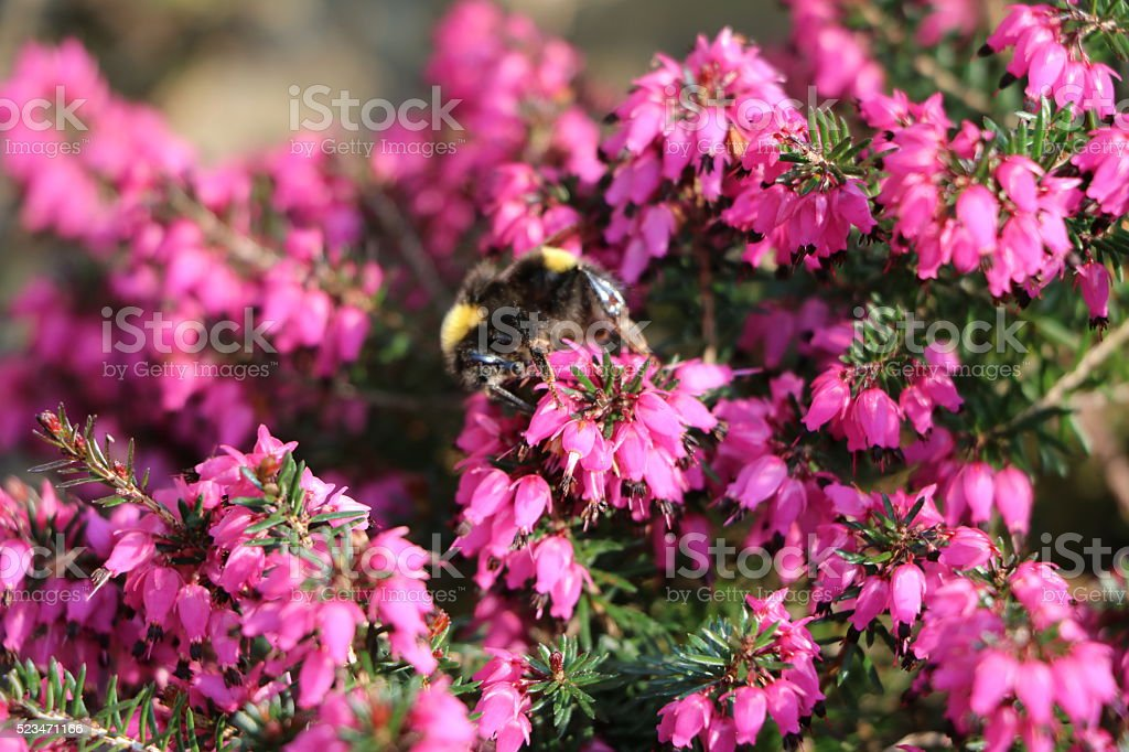 Bumblebee on blooming purple Heather in spring stock photo