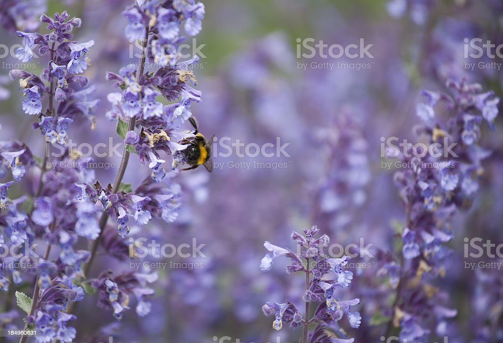 Bumblebee on Catnip Flowers stock photo