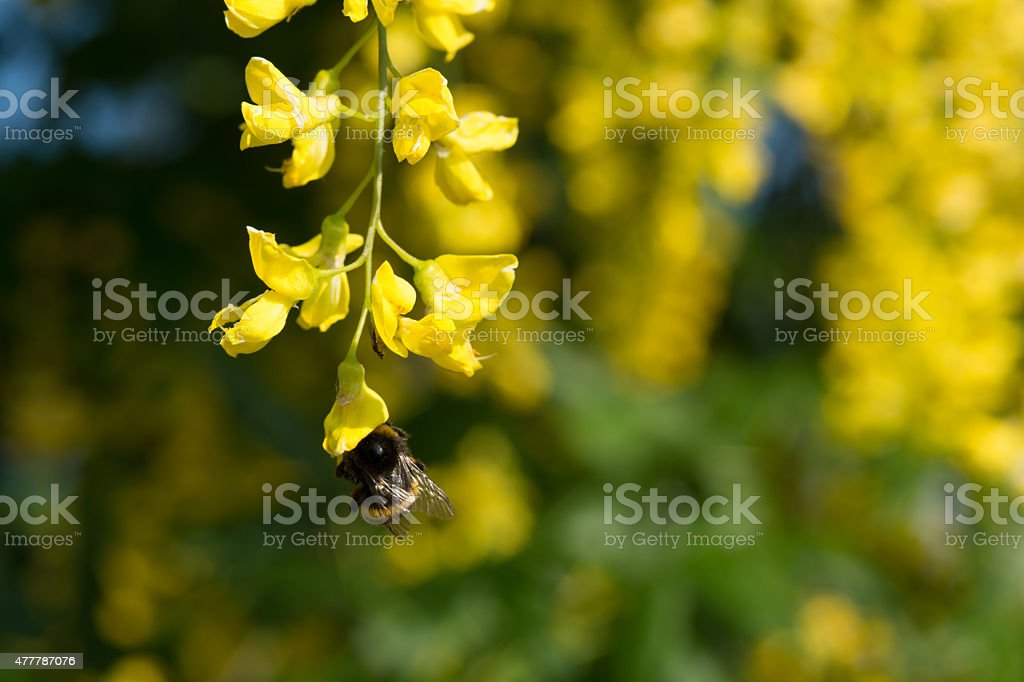 Hummel auf Goldregen royalty-free stock photo