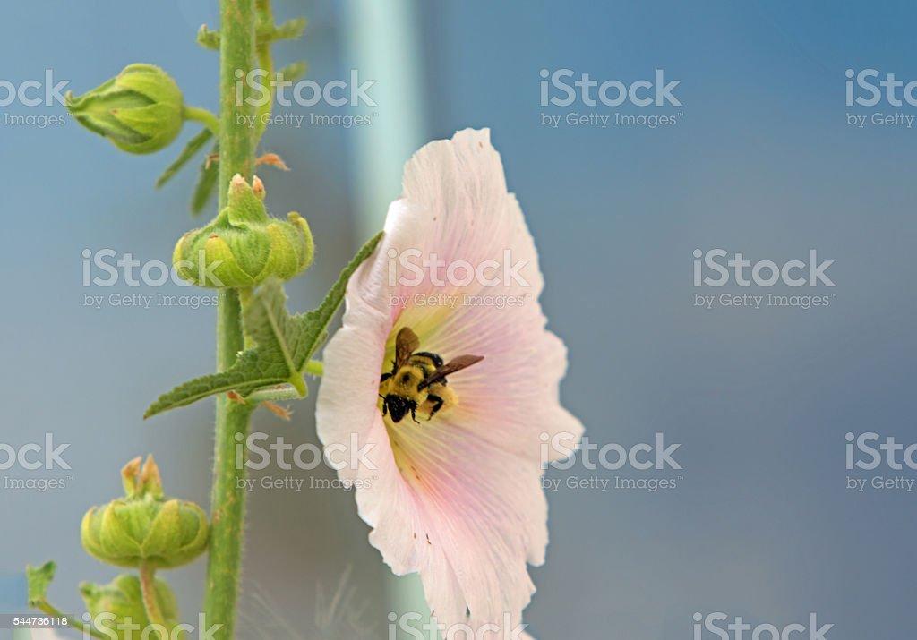 Bumblebee on Hollyhock flower stock photo