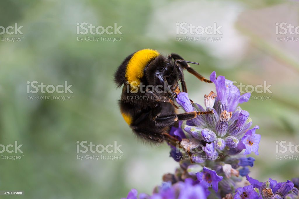 Bumblebee on lavender flower stock photo